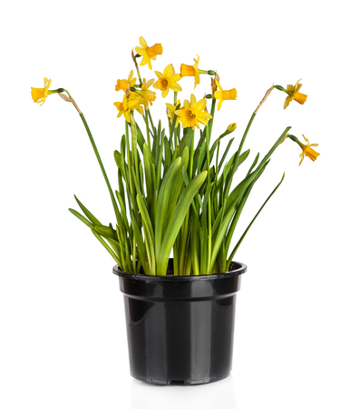 Beautiful Yellow Daffodils flowers in pot isolated on white background photo