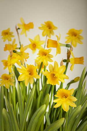 matherday: Beautiful Yellow Daffodils flowers