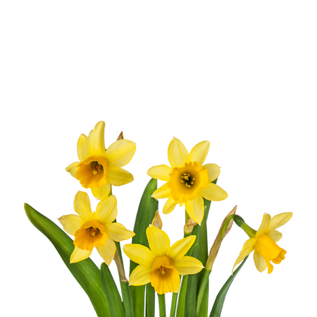 Beautiful Yellow Daffodils flowers isolated on white background Stock Photo