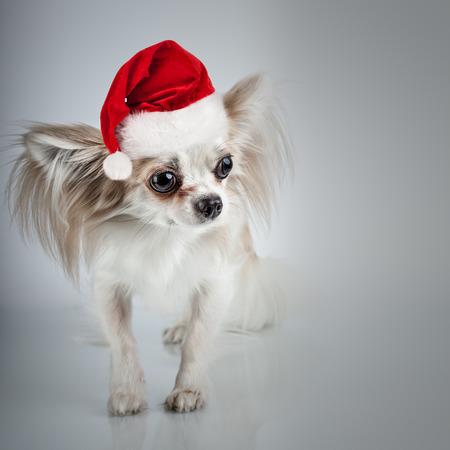 chiwawa: Longhair chihuahua  in Christmas Santa hat. Small dog sitting, looking at the camera Stock Photo
