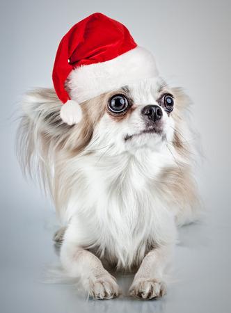 Longhair chihuahua  in Christmas Santa hat. Small dog sitting, looking at the camera photo