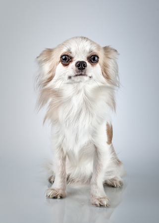 pampered: Longhair chihuahua. Small dog sitting, looking at the camera Stock Photo