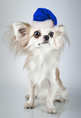 Longhair chihuahua  in Christmas Santa hat. Small dog sitting, looking at the camera Stock Photo