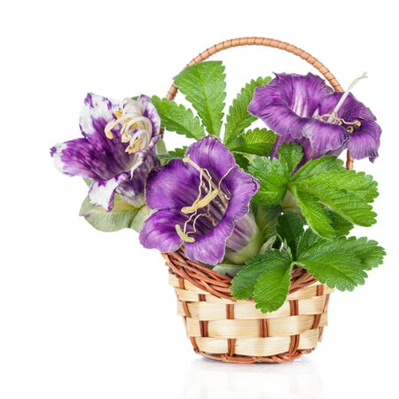 campanula: Violet flower hand bell in basket (Campanula) Stock Photo