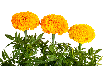 patula: Marigold flower isolated on white background. Tagetes