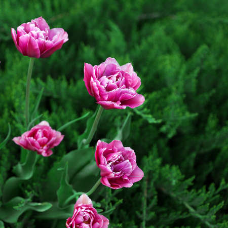 tulips in green grass: Pink tulips and green grass, outdoors