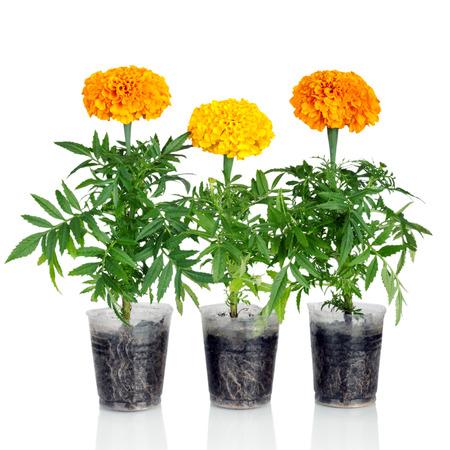 tagetes: Marigold flower isolated on white background. Tagetes