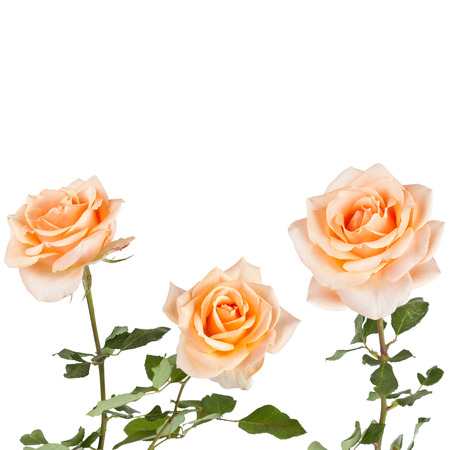 beautiful rose: Beautiful  Rose Background