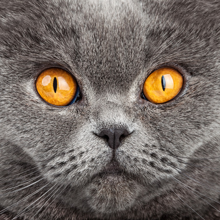 snoot: British Shorthair Cat Portrait. Beautiful kitty