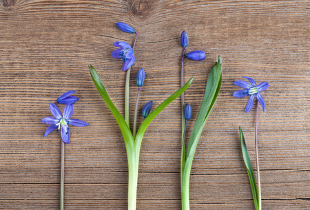 Beautiful Scilla siberica(Siberian squill or wood squill) on wooden background. First spring flowers, place for text, postcard. Snowdrops Stock Photo