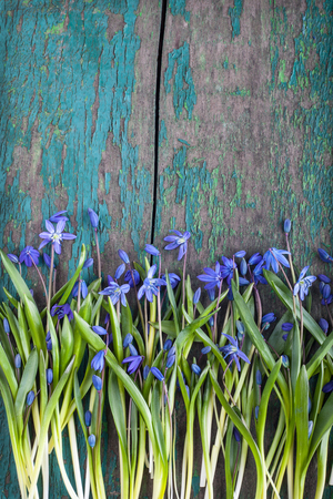 Beautiful Scilla siberica (Siberian squill or wood squill) on wooden background with old worn paint. First spring flowers, place for text, postcard. Snowdrops
