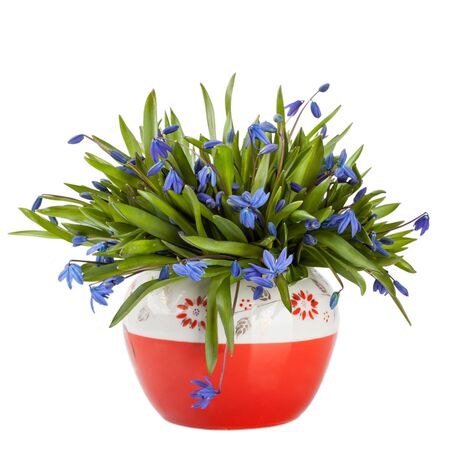 Beautiful blue spring flowers in vase (Asparagaceae, Scilla, Snowdrop)