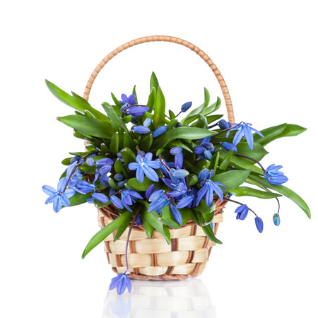 Beautiful blue spring flowers in vase (Asparagaceae, Scilla, Snowdrop)