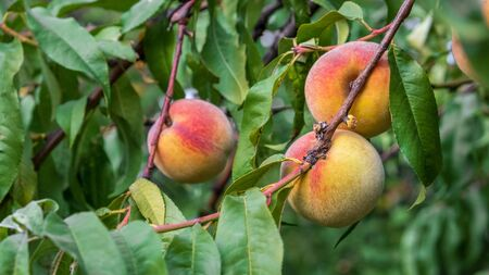 Peach tree with sweet fruits growing in the garden. Natural fruit ripening on peach tree branch
