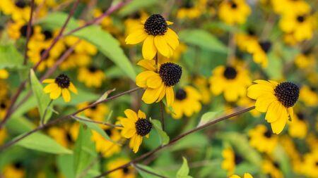 Beautiful yellow flower in the garden. Nature 版權商用圖片 - 131957107