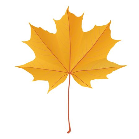 gold leaf: Autumn yellow gold maple leaf isolated on white background Illustration