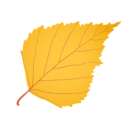 leaf vein: Yellow gold birch leaf as autumn symbol and icon of the fall weather isolated white background.