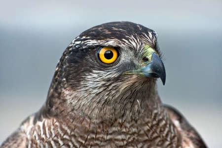 falcon: Close-up of hawk