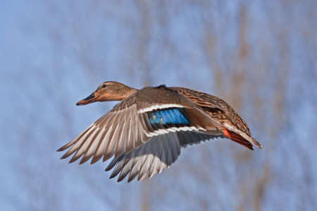 dabbling duck: Flight towards the spring (Mallard) Stock Photo