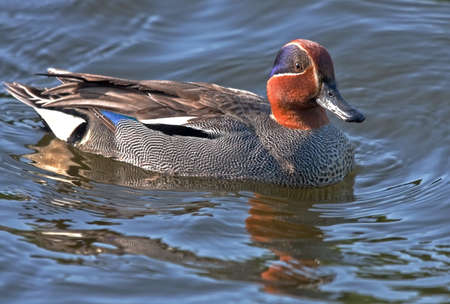 dabbling: The Eurasian Teal is the smallest dabbling duck