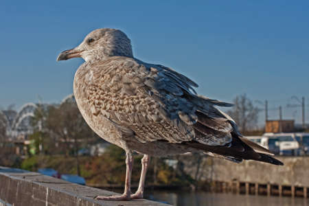 Young herring gull in the city photo