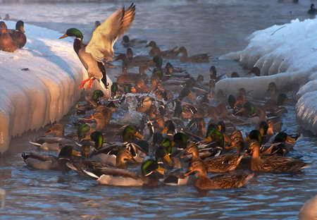 ices: Ducks between the ices