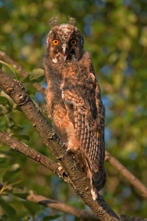 Owlet in the sunset light photo