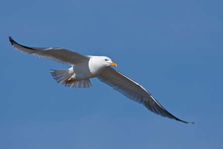 Seagull flying on the blue sky photo