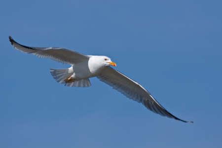 mouettes: Seagull volant sur le ciel bleu