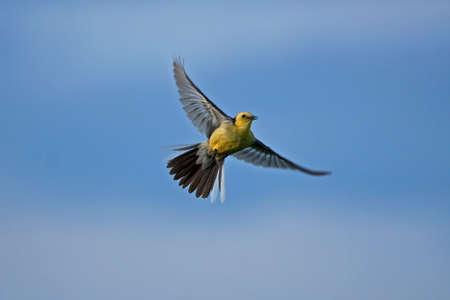 motacilla: Citrino lavandera (Motacilla citreola) en vuelo