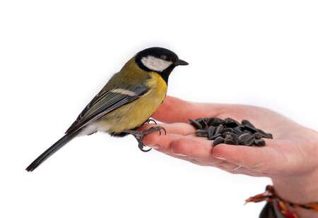 Winter feeding of birds (Great Tit  Parus major)