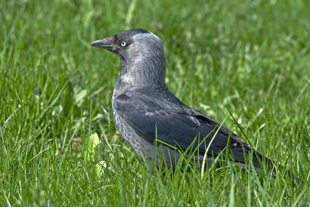 coloeus: Jackdaw (Coloeus monedula) Stock Photo