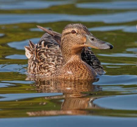 Beautiful duck swim on the lake Stock Photo - 10264333