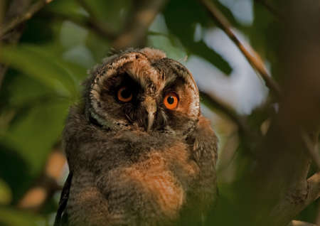 Close up of Long-eared owlet. photo