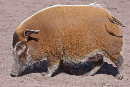 bush hog: R�o rojo del cerdo (Potamochoerus porcus). Bioparc, Valencia, Espa�a