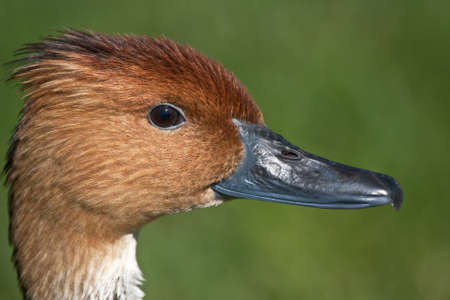 fulvous: Close up of Fulvous Whistling Duck (Dendrocygna bicolor). Bioparc, Valencia, Spain