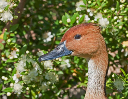 fulvous: Fulvous Whistling Duck against the flowers. Dendrocygna bicolor. Bioparc, Valencia, Spain