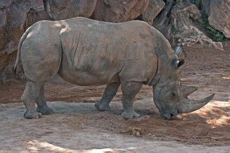 Rhino (Bioparc, Valencia, Spain) photo