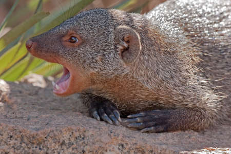 mongoose: Common Dwarf Mongoose (Helogale parvula). Bioparc, Valencia, Spain Stock Photo