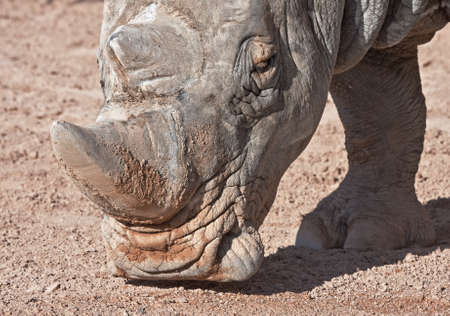 Close-up of Rhino (Bioparc, Valencia, Spain) photo