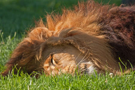 Close-up of Sleeping Leo (Bioparc, Valencia, Spain) Reklamní fotografie