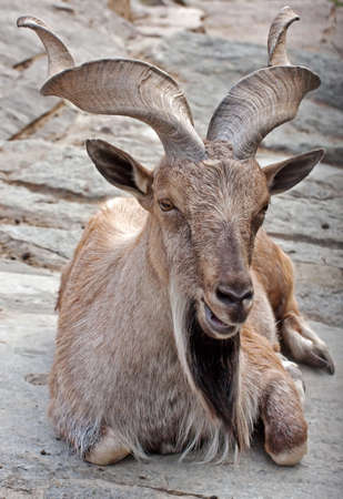 Markhor (Capra falconeri), Moscow Zoo, Russia photo