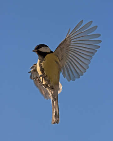 blue tit: The flight of Great Tit (Parus major)