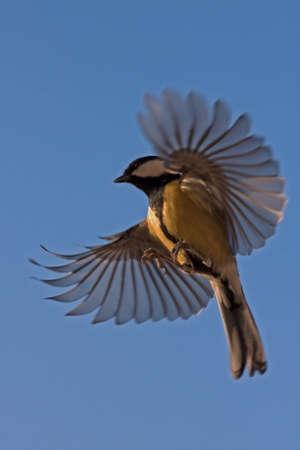 The flight of Great Tit (Parus major)