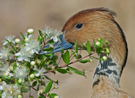 fulvous: Fulvous Whistling Duck with flowers. Dendrocygna bicolor. Bioparc, Valencia, Spain