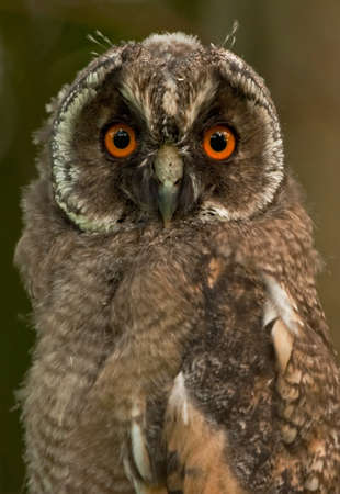 Close up of Long-eared owlet photo