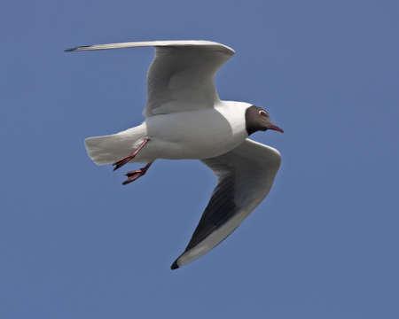 Black-headed gull flying on the blue sky Stock Photo - 13376778