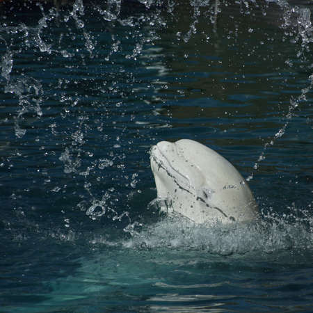 White whale in a spray of water (Beluga whale � Delphinapterus leucas) photo