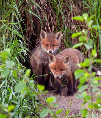 Young foxes playing near the hole  Red fox  Vulpes vulpes  45 days old  Stock Photo