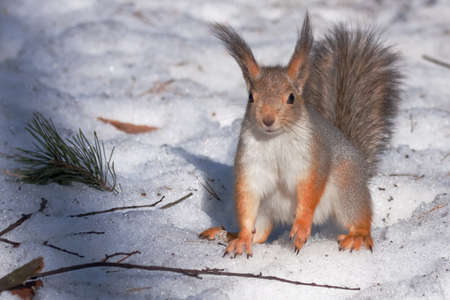 Squirrel on the snow photo